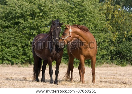 Two horses bring together - stock photo