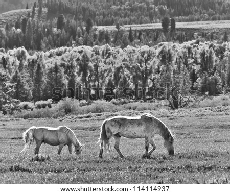 Two horses graze in a grassy field. - stock photo