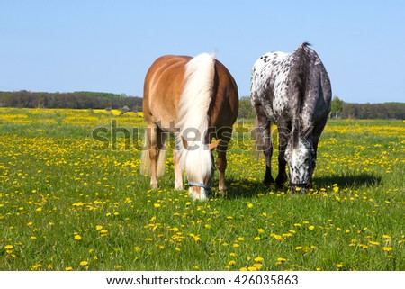 Two Horses head to head enjoy to pasture on a flowering meadow while the springtime sun is shining. - stock photo