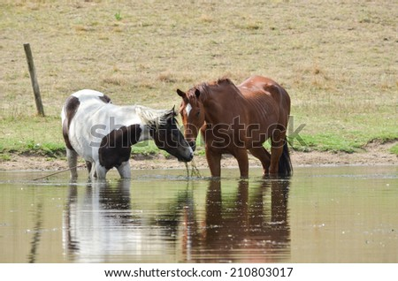 Two horses Horses sharing weeds from a dam and standing in the water - stock photo