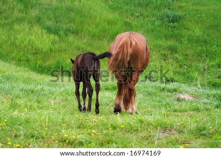 Two horses walking together and eating grass - stock photo