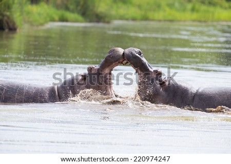 Two huge male hippos fight in water for the best territory - stock photo