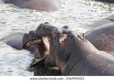 Two huge male hippos (Hippopotamus amphibius) fighting in a pool in Serengeti National Park, Tanzania - stock photo