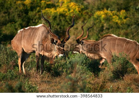 Two huge male Kudu Bulls antelope's / deer in this image taken in South Africa - stock photo