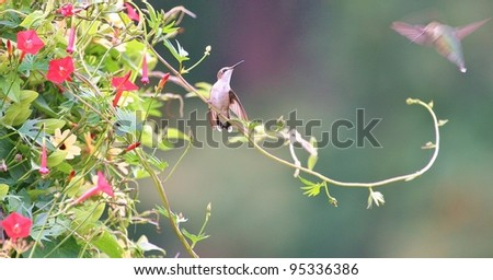 Two hummingbirds flirt. - stock photo