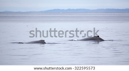 Two humpback whales traveling together in Johnstone strait, Vancouver Island, British Columbia, Canada - stock photo