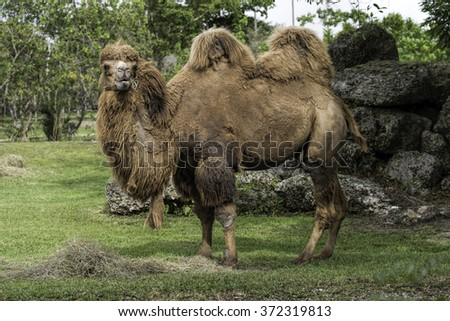 Two humped camel  - stock photo