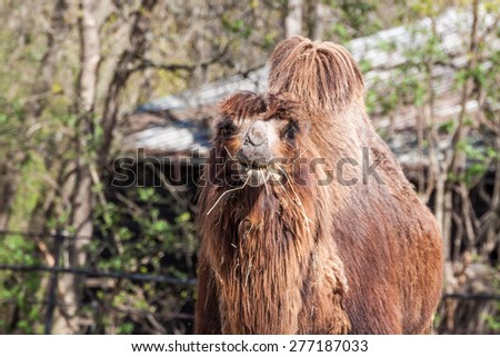Two humped camel eating some hay - stock photo
