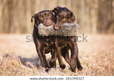 two hunting dogs playing together with a toy - stock photo