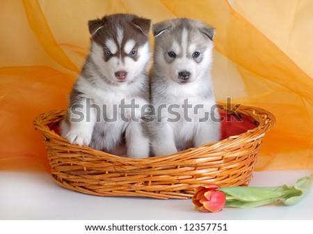 Two husky puppies - stock photo