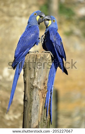 Two Hyacinth macaws (Anodorhynchus hyacinthinus) on a perch and kissing - stock photo