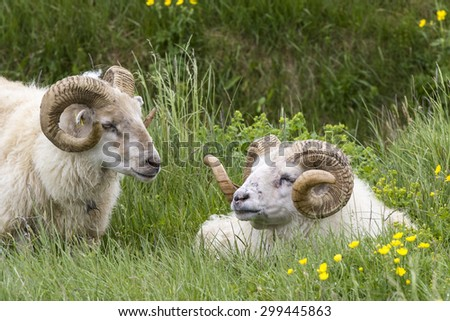 Two Iceland sheep rams one standing one lying down - stock photo