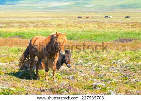 Two Icelandic Horses - stock photo
