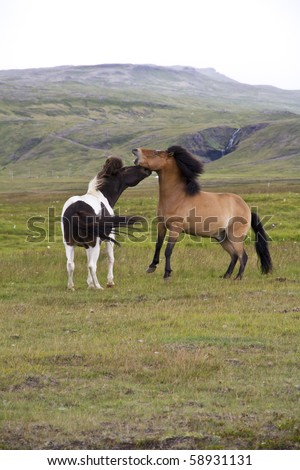 Two Icelandic ponies play fighting against a mountainous background - stock photo