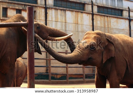 Two indian elephants playing at the zoo - stock photo