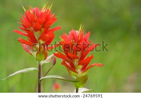 Two indian paintbrush flowers against a green background - stock photo