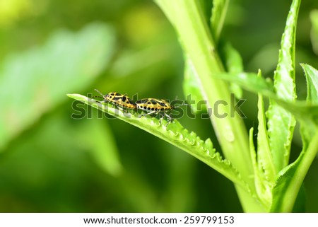 Two insects mating on green leaves, close-up   - stock photo