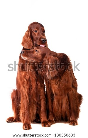 Two Irish Red Setters - isolated over a white background - stock photo
