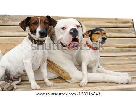 Two jack russel terriers and American bulldog  lying on a bench - stock photo
