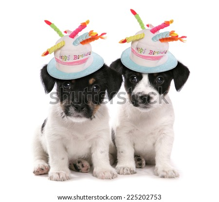 two jack russell terrier puppies with birthday hats - stock photo