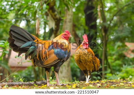 Two jungle chicken at the garden . - stock photo