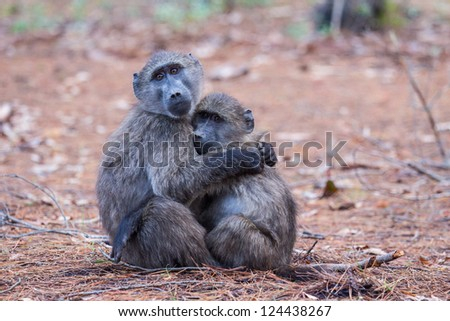 Two juvenile baboons embracing each other - stock photo