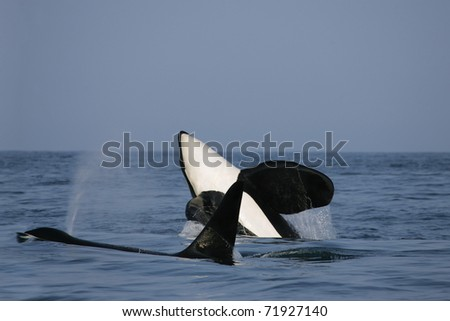 two killer whale males in the wild, one is jumping - stock photo
