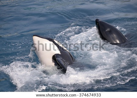 Two killer whales (Orcinus orca) in whirlpool water - stock photo