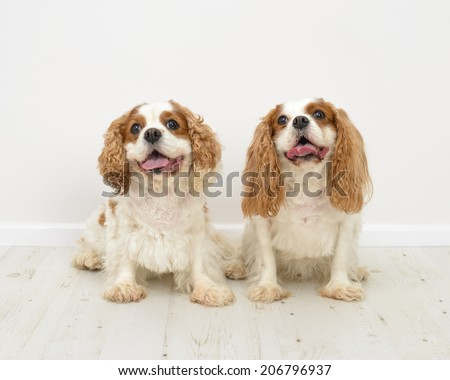 Two King Charles Spaniel dogs on a white background - stock photo