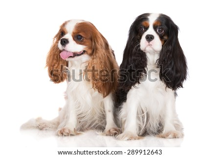 two king charles spaniel dogs sitting together on white - stock photo