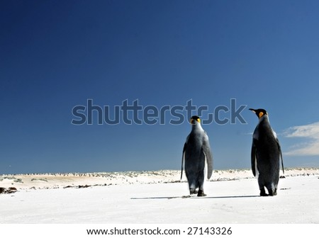 Two King Penguins at Volunteer Point on the Falkland Islands - stock photo