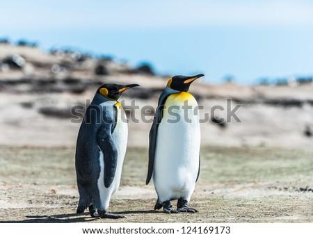 Two KIng penguins over the coast.  Falkland Islands, South Atlantic Ocean, British Overseas Territory - stock photo