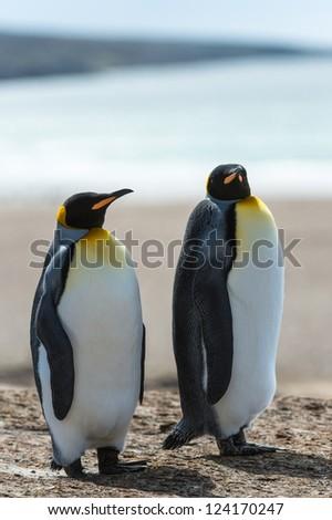Two KIng penguins walk over the coastline.  Falkland Islands, South Atlantic Ocean, British Overseas Territory - stock photo