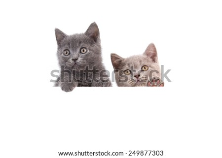 Two Kitten British lilac beige and blue on white background. Cat peeking from behind. Two months. - stock photo
