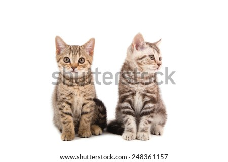 Two Kitten British striped brown on white background. Kitten two month.  - stock photo