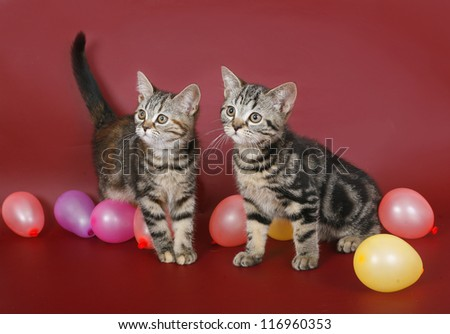 Two kitten with balloons on burgundy background. - stock photo