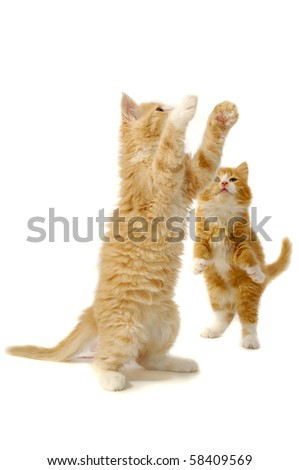 Two kittens are playing on a white background. - stock photo