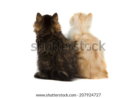 two kittens from the back - looking at something over a white background - stock photo