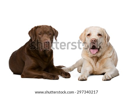 Two Labrador dogs lying in front of a white background - stock photo