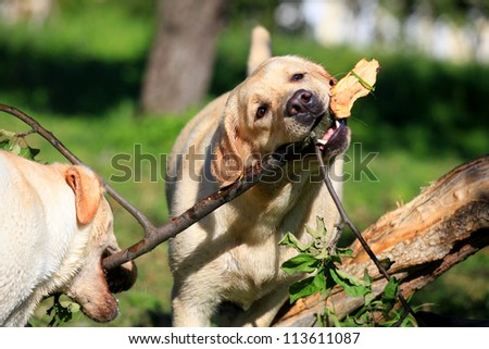 Two Labrador retriever dogs on the meadow - stock photo