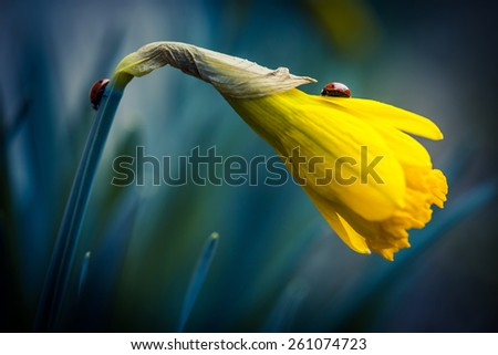 Two ladybug on beautiful narcissus flower. - stock photo