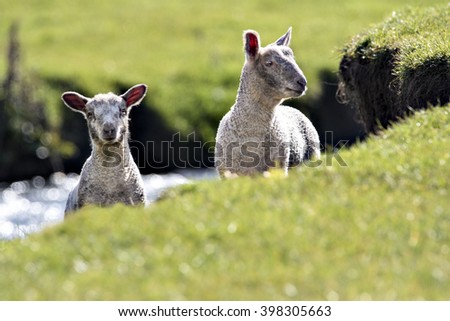 Two lambs peering over the edge of a river bank - stock photo