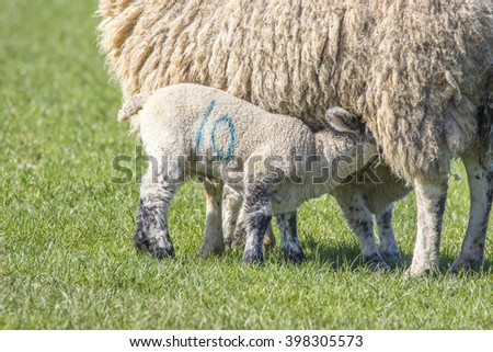 Two lambs suckling their mother on a sunny spring day - stock photo