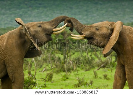 two large elephants standing and pushing each other around - stock photo