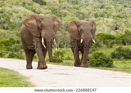 Two large elephants walking down a road with bush on either side - stock photo