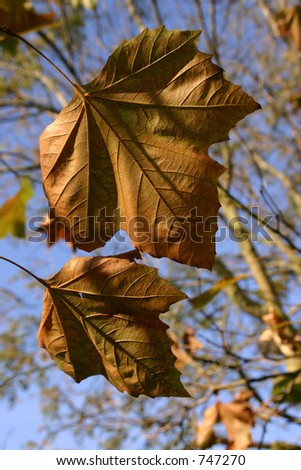 Two leaves ready to fall on a clear day. - stock photo
