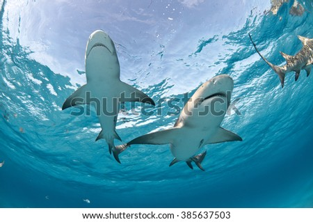 Two lemon sharks swimming overhead with the sky clearly visible through the surface of the water. - stock photo