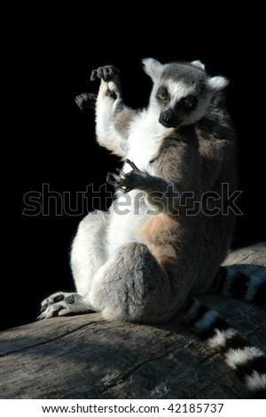 two lemurs - stock photo