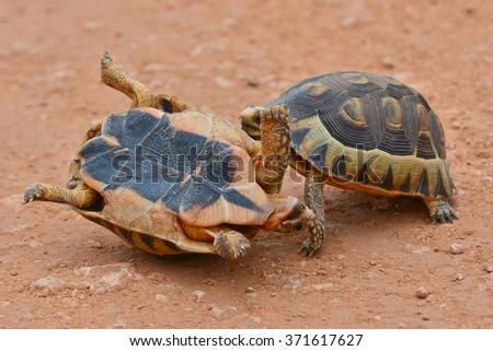 Two Leopard Tortoise fighting - stock photo