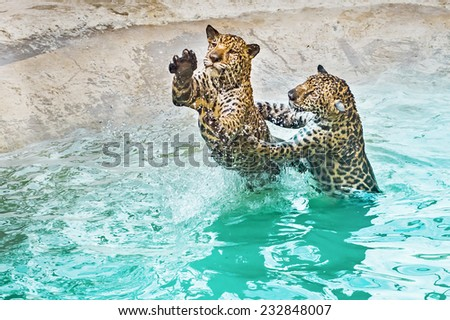 Two Leopards playing in the pool - stock photo